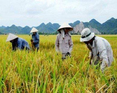 Giá gạo tăng, ai cũng lãi trừ nông dân