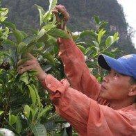 Giải pháp nâng cao giá trị chè Xuất khẩu: Quy hoạch ngay vùng trồng