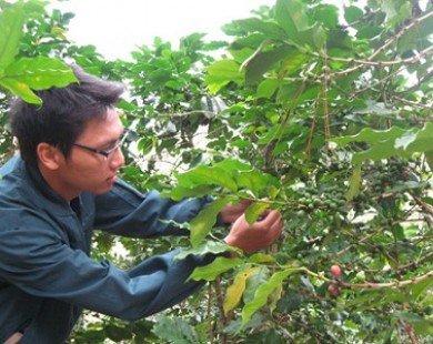 Sản xuất, kinh doanh cà phê cùng đối mặt lỗ