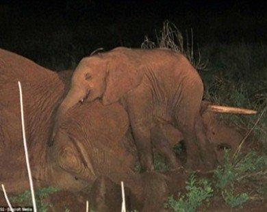 Chú voi đáng thương không rời xác voi mẹ