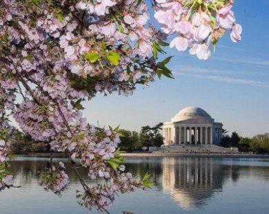 Thưởng ngoạn mùa hoa Anh Đào tại Mỹ