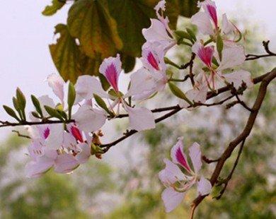 Điện Biên 'bắt' hoa ban nở đúng lễ hội