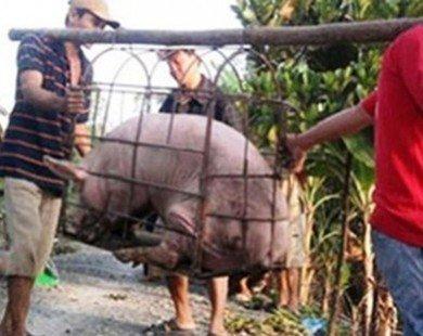 Bị thương lái Trung Quốc lừa, nông dân khóc vì lợn siêu mỡ