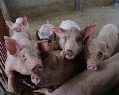 Trung Quốc ồ ạt thu mua, giá lợn lên cơn sốt