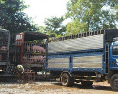 Lợn thịt Việt Nam chưa được cấp phép nhập khẩu vào Trung Quốc