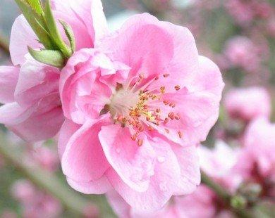 Da đẹp nhờ hoa đào