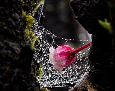 Ngắm hoa đào chuông nở trong sương sớm tại Bà Nà Hills