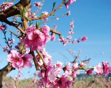 Hoa đào, hoa mai - Vị thuốc của mùa xuân