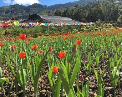 Giới trẻ phát sốt với cánh đồng hoa tulip ở cao nguyên Lào Cai