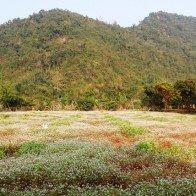 Vườn hoa tam giác mạch bung nở giữa tháng Giêng ở vùng đất 3 vua