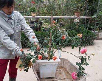 Du khách ngơ ngẩn với vườn hồng đẹp như mơ ở ngoại thành HN