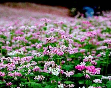 Trồng 10ha hoa tam giác mạch tại Bắc Hà để phục vụ du lịch