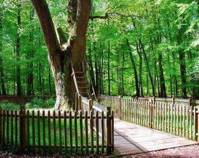 """Bridegroom's Oak – Cây sồi """"mai mối"""" nổi tiếng ở Đức"""