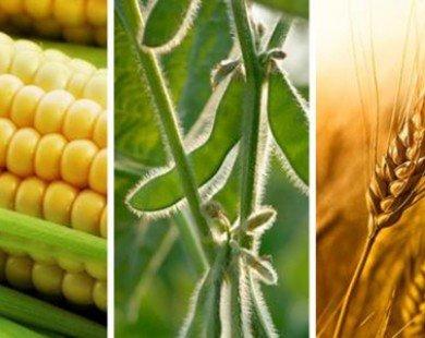 Giá ngô và lúa mỳ tăng, giá đậu tương giảm