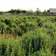 Không phải đi đâu xa, Hà Nội cũng có cánh đồng oải hương đẹp mê hồn