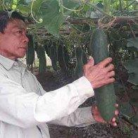 Bí đao còn 1.500 đồng/kg, nông dân Quảng Nam chờ được giải cứu