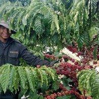 Giá nông sản hôm nay 13.4: Cà phê có tiếp đà tăng 400.000 đồng/tấn?