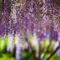 Lên lịch tháng 4 đi Nhật ngắm đường hoa tử đằng kỳ ảo