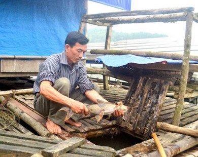 Địa chỉ nông sản sạch: Dùng cây tre, ống nhựa nuôi cá chiên đặc sản