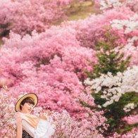 Xứ sở cổ tích ngập tràn hoa trên núi ở Hàn Quốc