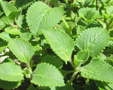 Tác dụng chữa bệnh ít biết của 3 loại rau thơm quen thuộc