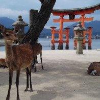 Ghé thăm Miyajima – hòn đảo của những chú hươu tại Nhật Bản