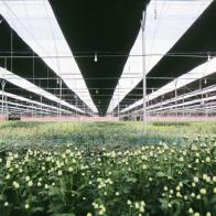 PAN - Saladbowl sẽ đưa Việt Nam lọt top 3 nước xuất khẩu hoa lớn nhất sang Nhật Bản