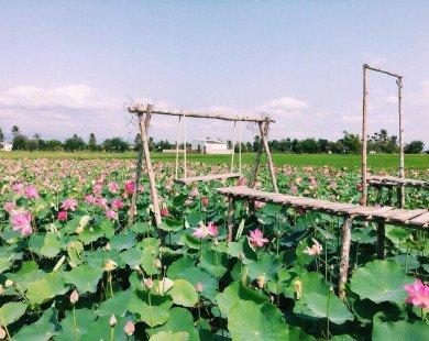 """Đẹp ngỡ ngàng """"cánh đồng sen Tháp Mười"""" thu nhỏ giữa Ninh Thuận"""
