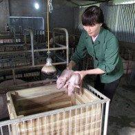 """Giá lợn hơi tăng cao ngất ngưởng, không phải ai cũng """"gặp may"""""""
