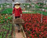 Giá hoa giảm, dân vẫn dự kiến thu tiền tỷ dịp giáp Tết