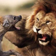Từ câu chuyện sư tử dạy con
